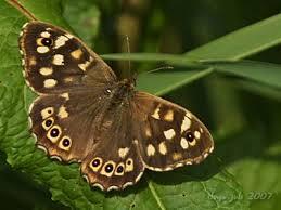bruin witte vlinder